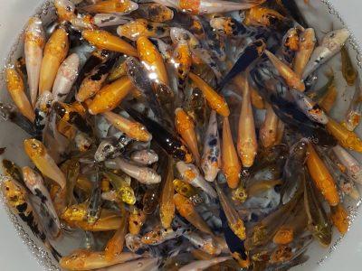 فروش عمده ۲۲۰ ماهی کوی قشنگ و مختلف و با شوکت یکجا