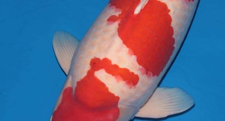 ماهی کوچک دو سانتی تا بزرگ سی سانتی کوی